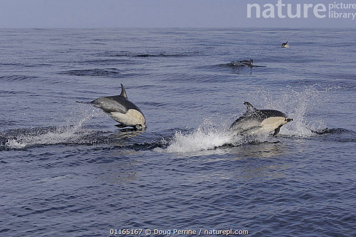 Short-beaked / Common dolphins {Delphinus delphis} porpoising out of water at high speed off San Diego, California, USA., BREACHING,CETACEANS,DOLPHIN,DOLPHINS,JUMPING,MAMMALS,PACIFIC,PORPOISING,SURFACE,VERTEBRATES, Mammals, Doug Perrine