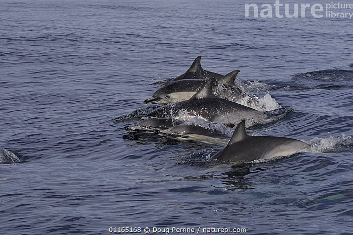 Group of Short-beaked / Common dolphins {Delphinus delphis} porpoising out of water off San Diego, California, USA., CETACEANS,DOLPHIN,DOLPHINS,MAMMALS,PACIFIC,SURFACE,TEMPERATE,VERTEBRATES, Mammals, Doug Perrine