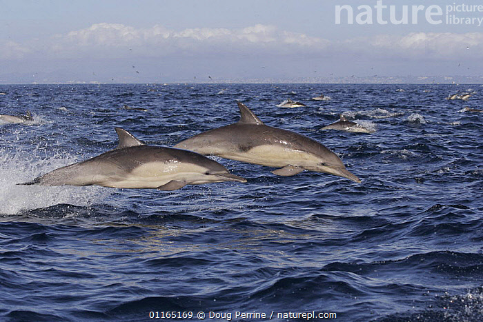 Long beaked common dolphins {Delphinus capensis} porpoising out of water at high speed off San Diego, California, USA, BREACHING,CETACEANS,DOLPHIN,DOLPHINS,JUMPING,LEAPING,MAMMALS,PACIFIC,SURFACE,TEMPERATE,VERTEBRATES, Mammals, Doug Perrine