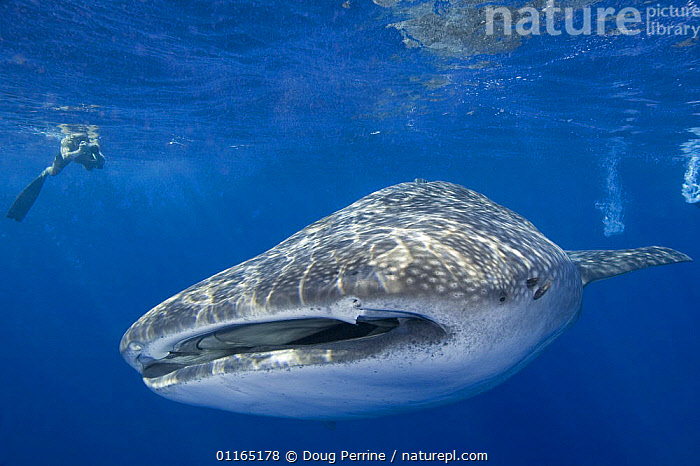 Whale shark {Rhincodon typus} and photographer, Keahou Bay, Hawaii  ,  CHONDRICHTHYES,FISH,MARINE,PACIFIC,PEOPLE,PHOTOGRAPHY,SHARKS,UNDERWATER,VERTEBRATES, Fish,USA,North America  ,  Doug Perrine