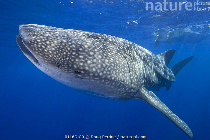 Whale shark {Rhincodon typus} swimming past boat with remora in spiracle and another next to it, Kona coast, Hawaii, BOATS,CHONDRICHTHYES,FISH,MARINE,PACIFIC,SHARKS,UNDERWATER,VERTEBRATES, Fish,USA,North America, Doug Perrine
