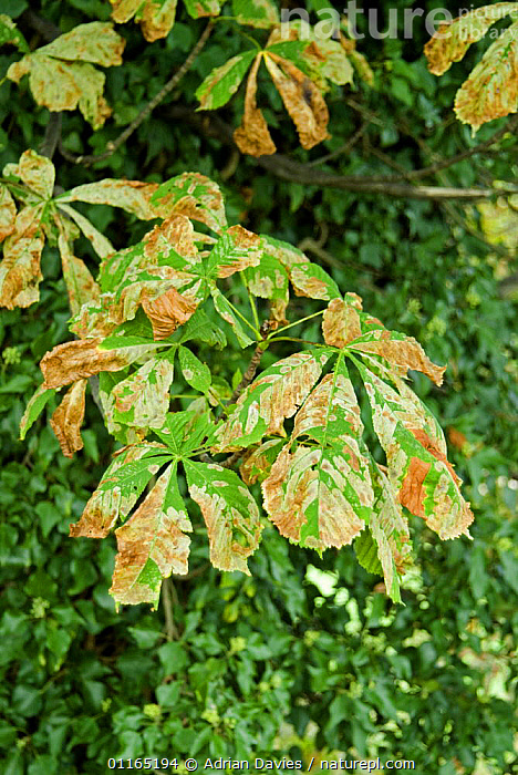 Horse Chestnut leaves {Aesculus hippocastanum} infected with Leaf Miner Moth (Cameraria ohridella) Surrey, UK, 2006, DICOTYLEDONS,DISEASE,EUROPE,HIPPOCASTANACEAE,INSECTS,LARVAE,LEPIDOPTERA,MOTHS,PESTS,PLANTS,TREES,UK,VERTICAL,United Kingdom,Invertebrates,British,Equines, Adrian Davies