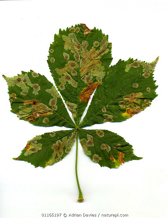 Horse Chestnut leaves {Aesculus hippocastanum} infected with Leaf Miner Moth (Cameraria ohridella) Surrey, UK, 2006, CUTOUT,DICOTYLEDONS,DISEASE,EUROPE,HIPPOCASTANACEAE,INSECTS,LARVAE,LEPIDOPTERA,MOTHS,PESTS,PLANTS,TREES,UK,VERTICAL,United Kingdom,Invertebrates,British,Equines, Adrian Davies