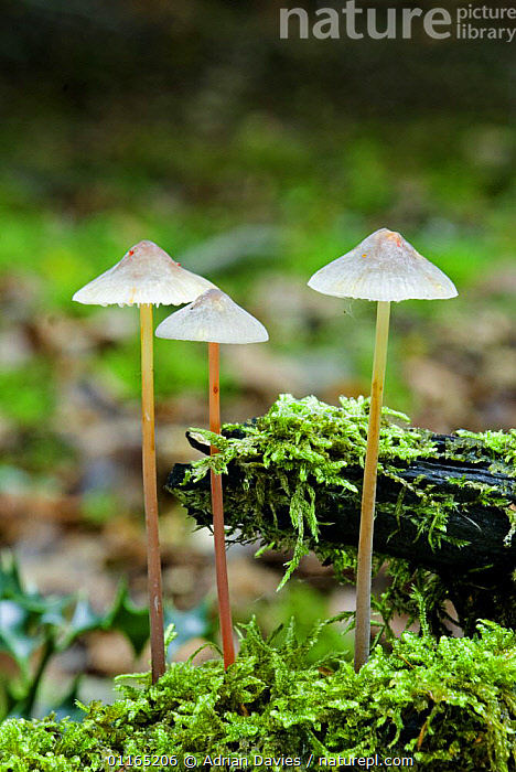 Bleeding Mycena (Mycena haematopus) Note drops of blood-red latex on stem and cap, UK, AUTUMN, EUROPE, FUNGI, FUNGUS, GROUPS, Mushroom, PLEUROTACEAE, toadstool, UK, VERTICAL, WOODLANDS,United Kingdom, Adrian Davies
