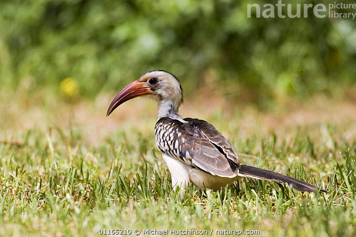 Red-billed hornbill {Tockus erythrorhynchus} on ground, Lewa Downs, Kenya.  ,  AFRICA, BIRDS, EAST-AFRICA, HORNBILLS, PROFILE, VERTEBRATES  ,  Michael Hutchinson