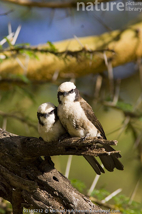 Two Northern White-crowned shrikes {Eurocephalus ruepelli /anguitimens} perching on branch, Lewa Downs, Kenya  ,  AFRICA,BIRDS,EAST AFRICA,SHRIKES,TWO,VERTEBRATES,VERTICAL  ,  Michael Hutchinson
