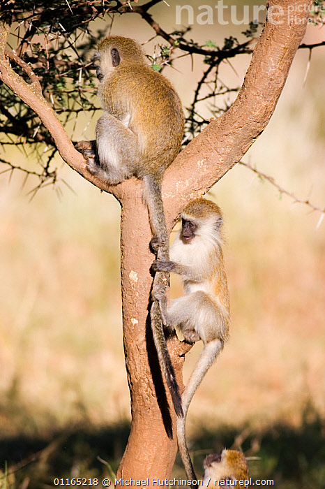 Juvenile Vervet monkey (Chlorocebus / Cercopithecus aethiops)  playing with adult's tail in tree, Kenya.  ,  AFRICA,BEHAVIOUR,Cercopithecidae,CERCOPITHECUS AETHIOPS,EAST AFRICA,GREEN MONKEY,INTERACTION,MAMMALS,MONKEYS,PRIMATES,VERTEBRATES,VERTICAL,VERVET MONKEY  ,  Michael Hutchinson