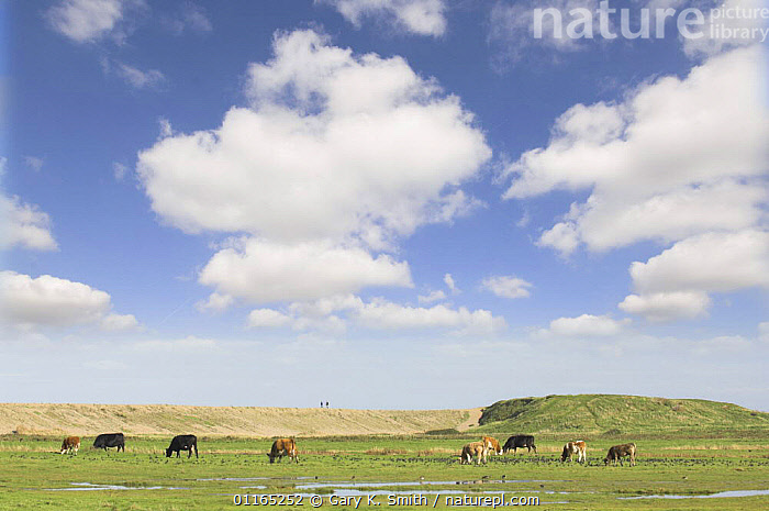 Cattle on coastal grazing marsh with sea bank in background, Salthouse, Norfolk, UK  ,  AGRICULTURE,CLOUDS,COASTS,EUROPE,LIVESTOCK,MARSHES,SALTMARSHES,SKIES,UK,United Kingdom,Wetlands,Weather,British,ENGLAND  ,  Gary K. Smith