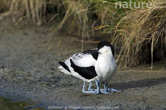 Two Avocet chicks hiding under parent's feathers for warmth (Recurvirostra avosetta), Texel, Netherlands  ,  AVOCETS,BABIES,BIRDS,EUROPE,FAMILIES,HOLLAND,PARENTAL,VERTEBRATES,WADERS  ,  Philippe Clement