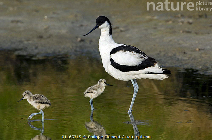 Avocet (Recurvirostra avosetta) with two chicks  Texel, Netherlands  ,  AVOCETS,BABIES,BIRDS,EUROPE,FAMILIES,HOLLAND,JUVENILE,PARENTAL,VERTEBRATES,WADERS  ,  Philippe Clement