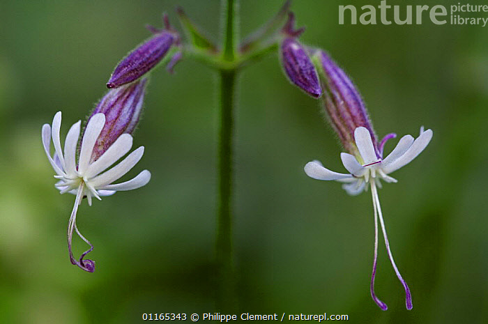 Nottingham catchfly flower (Silene nutans) Gran Paradiso NP, Alps, Italy  ,  ALPINE,CAMPION,CARYOPHYLLACEAE,DICOTYLEDONS,EUROPE,FLOWERS,ITALY,PLANTS  ,  Philippe Clement