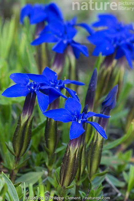 Spring gentian flowers (Gentiana verna) Gran Paradiso NP, Alps, Italy  ,  BLUE,DICOTYLEDONS,EUROPE,FLOWERS,GENTIANACEAE,ITALY,PLANTS,VERTICAL  ,  Philippe Clement
