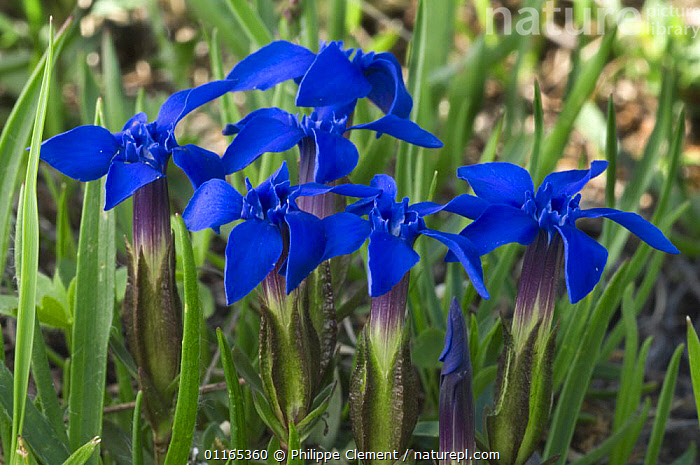 Spring gentian flowers (Gentiana verna) Gran Paradiso NP, Alps, Italy  ,  BLUE,DICOTYLEDONS,EUROPE,FLOWERS,GENTIANACEAE,ITALY,PLANTS  ,  Philippe Clement