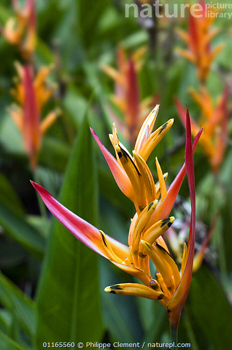 Flowers of {Heliconia psittacorum} botanical garden, Costa Rica  ,  CENTRAL AMERICA,COSTA RICA,GARDENS,HELICONIACEAE,MONOCOTYLEDONS,PLANTS,TROPICAL RAINFOREST,VERTICAL  ,  Philippe Clement