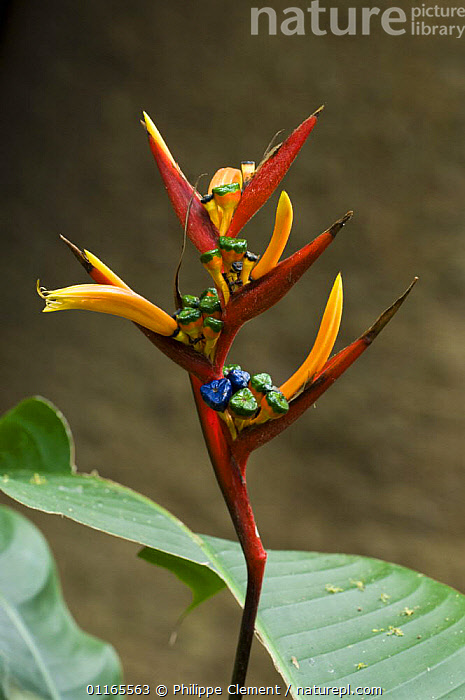 Heliconia flower {Heliconiaceae sp} Carara NP, Costa Rica  ,  CENTRAL AMERICA,COSTA RICA,FLOWERS,HELICONACEAE,MONOCOTYLEDONS,PLANTS,RESERVE,TROPICAL RAINFOREST,VERTICAL  ,  Philippe Clement