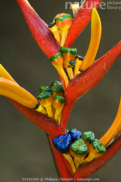 Close up of Heliconia flower {Heliconiaceae sp} showing stigma, Carara NP, Costa Rica  ,  CENTRAL AMERICA,CLOSE UPS,COLOURFUL,COSTA RICA,FLOWERS,HELICONACEAE,MONOCOTYLEDONS,PLANTS,RESERVE,TROPICAL RAINFOREST,VERTICAL  ,  Philippe Clement