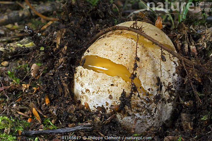 Stinkhorn fungus at egg stage {Phallus impudicus} called devil�s or witches egg, Belgium  ,  FUNGI, PHALLACEAE,Europe  ,  Philippe Clement