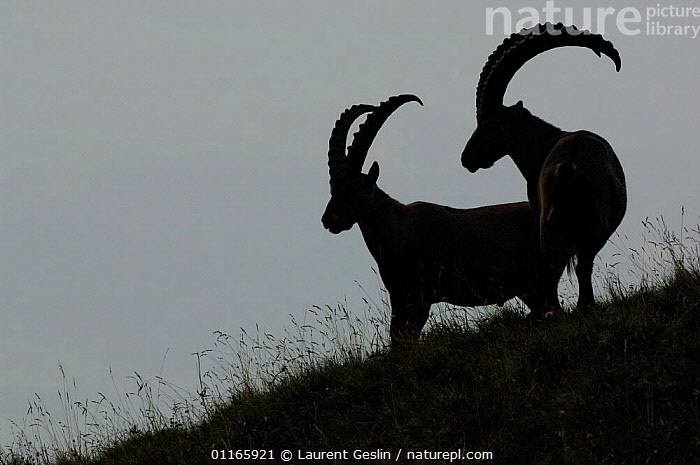 Two Alpine Ibex (Capra Ibex ibex) silhouetted on hillside, Alps, France  ,  ARTIODACTYLA,BOVIDS,EUROPE,FRANCE,GOATS,HORNS,MAMMALS,MOUNTAINS,PAIR,PAIRS,SILHOUETTES,VERTEBRATES,Antelopes  ,  Laurent Geslin