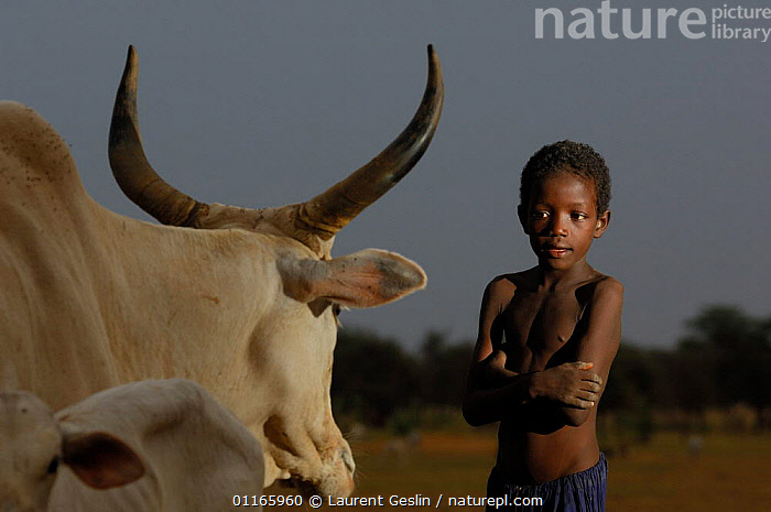 Fulani boy with cattle, North Senegal, West Africa, 2005  ,  CHILDREN,LIVESTOCK,PEOPLE,TRIBES,WEST AFRICA,Africa,WEST-AFRICA,Catalogue1F  ,  Laurent Geslin