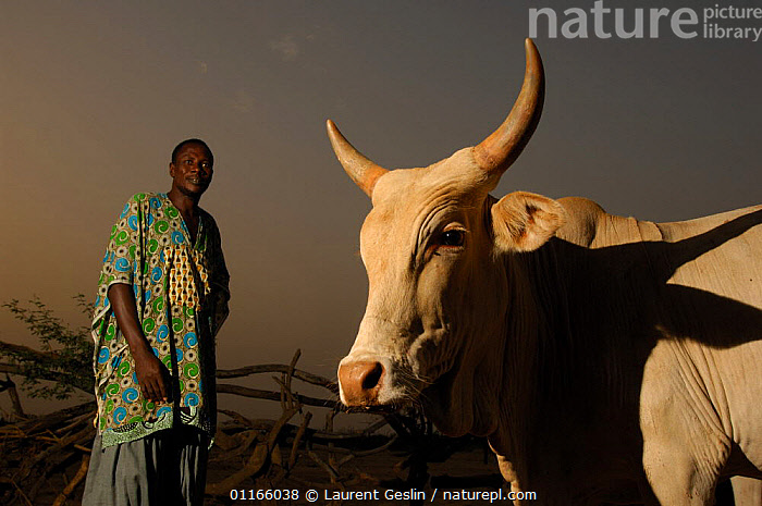Fulani herdsman with his cattle, South Mauritania, West Africa, 2005  ,  LIVESTOCK,MEN,PEOPLE,TRIBES,WEST AFRICA,Africa,NORTH-AFRICA  ,  Laurent Geslin
