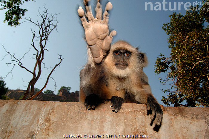 Southern plains grey / Hanuman langur {Semnopithecus dussumieri} stretching out hand to touch camera, Ranthambore NP, Rajasthan, India.  2006  ,  animal theme,ASIA,BEHAVIOUR,catalogue4F,Cercopithecidae,close up,direct gaze,DUSSUMIERS MALABAR LANGUR,DUSSUMIERS SACRED LANGUR,Forbidden,front view,guarding,hand gesture,HANDS,HANUMAN LANGUR,india,LANGURS,looking at camera,MAMMALS,Nobody,NP,one animal,PRESBYTIS ENTELLUS,PRIMATES,rajasthan,Ranthambore,RESERVE,SITTING,SOUTHERN PLAINS GREY LANGUR,stop gesture,VERTEBRATES,wall,WILDLIFE,National Park  ,  Laurent Geslin