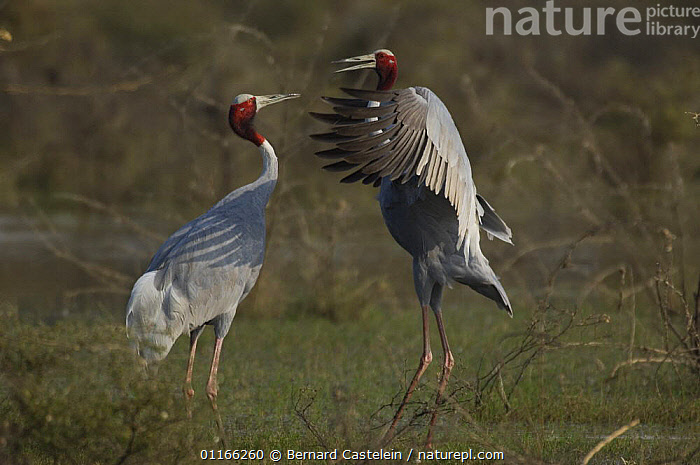 Nature Picture Library - Sarus Crane (Grus antigone