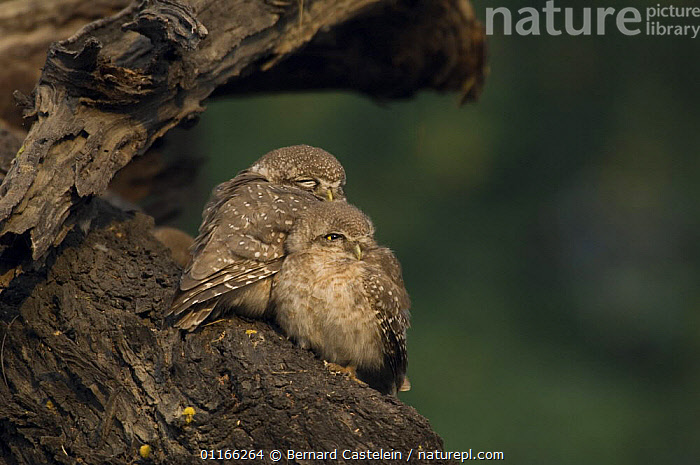 Spotted Owlet (Athena brama) adult and chick huddled together, Keoladeo Ghana NP, Bharatpur, Rajasthan, India  ,  ASIA,BABIES,BIRDS,BIRDS OF PREY,CHICKS,CUTE,FAMILIES,FLUFFY,INDIA,OWLS,RESERVE,VERTEBRATES,,UNESCO World Heritage Site,  ,  Bernard Castelein