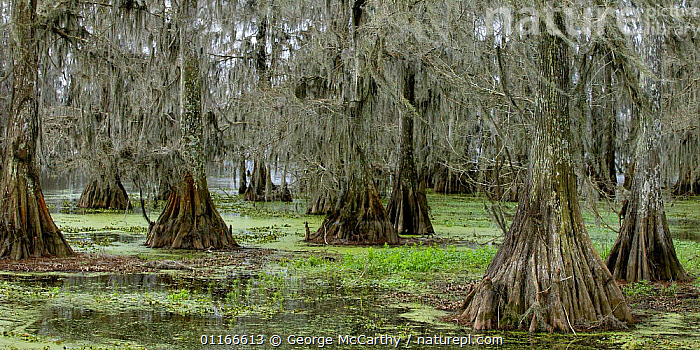 Cypress Trees (Thuja genus) draped in Spanish Moss (Tillandsia usneoides) in swamp, Louisiana, USA  ,  BUTTRESS,CONIFERS,CUPRESSACEAE,GYMNOSPERMS,HABITAT,LOUISIANA,MOSS,NORTH AMERICA,PANORAMICS,PLANTS,ROOTS,SWAMPS,TREES,USA,WATER,WETLANDS,WOODLANDS  ,  George McCarthy
