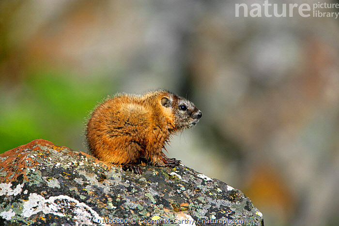 Juvenile Yellow-bellied Marmot (Marmota flaviventris)Yellowstone National Park, Montana, USA  ,  BABIES,CUTE,MAMMALS,MARMOTS,MONTANA,NORTH AMERICA,RODENTS,USA,VERTEBRATES  ,  George McCarthy
