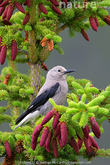 Nature Picture Library Clarks Nutcracker Nucifraga Columbiana