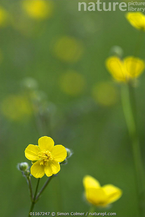 Meadow Buttercup (Ranunculus acris) Kent, UK  ,  DICOTYLEDONS,EUROPE,FLOWERS,PLANTS,PORTRAITS,RANUNCULACEAE,SUMMER,UK,VERTICAL,YELLOW,United Kingdom,British, United Kingdom  ,  Simon Colmer