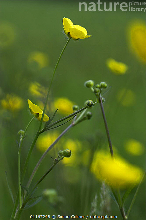 Meadow Buttercup (Ranunculus acris) with flowers and buds, Kent, UK  ,  DICOTYLEDONS,EUROPE,MEADOWLAND,PLANTS,RANUNCULACEAE,UK,VERTICAL,YELLOW,United Kingdom,Grassland,British, United Kingdom  ,  Simon Colmer