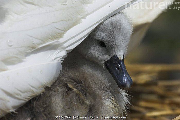 Mute swan (Cygnus olor) cygnet chick sheltering under parent, Abbotsbury, Dorset, UK  ,  BABIES,BEHAVIOUR,BIRDS,CHICKS,DUCKLINGS,EUROPE,FEATHERS,MOTHER,PARENTAL,SWANS,UK,VERTEBRATES,WATERFOWL,United Kingdom,British,Wildfowl, Waterfowl, United Kingdom  ,  Simon Colmer