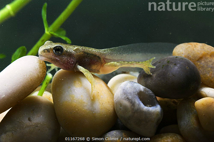 Tadpole of Common Frog (Rana temporaria) captive UK  ,  AMPHIBIANS,ANURA,EUROPE,FROGS,JUVENILE,LEGS,PONDS,TADPOLES,TAILS,UK,UNDERWATER,VERTEBRATES,United Kingdom,British, United Kingdom  ,  Simon Colmer