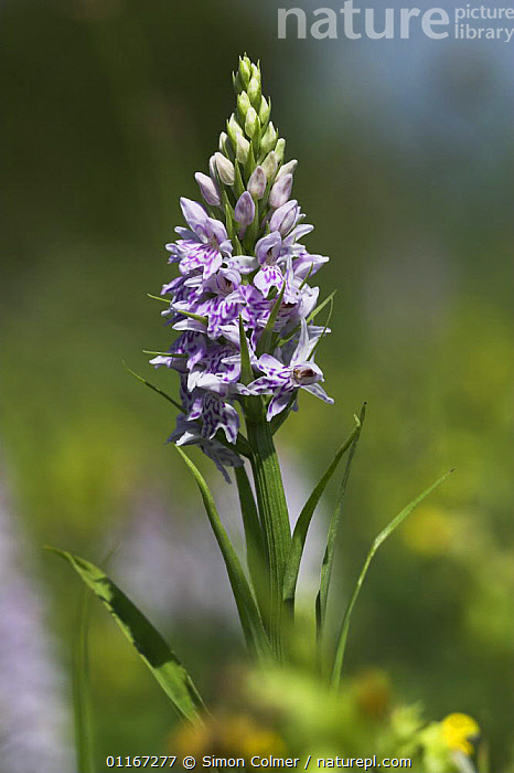 Portrait of Common Spotted Orchid (Dactylorhiza fuchsii) Sussex Downs AONB, Sussex, UK  ,  ENGLAND,EUROPE,FLOWERS,MONOCOTYLEDONS,ORCHIDACEAE,ORCHIDS,PLANTS,UK,VERTICAL,United Kingdom,British, United Kingdom  ,  Simon Colmer