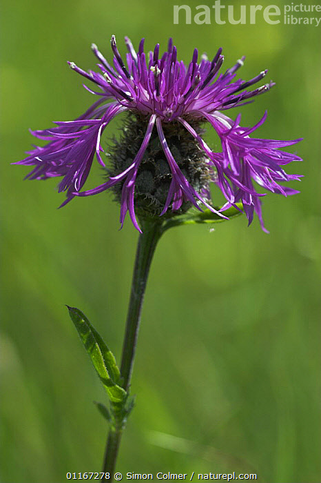 Greater Knapweed (Centaurea scabiosa) Sussex Downs AONB, Sussex UK  ,  ASTERACEAE,COMPOSITAE,DICOTYLEDONS,EUROPE,FLOWERS,PLANTS,PORTRAITS,PURPLE,UK,VERTICAL,United Kingdom,British, United Kingdom  ,  Simon Colmer