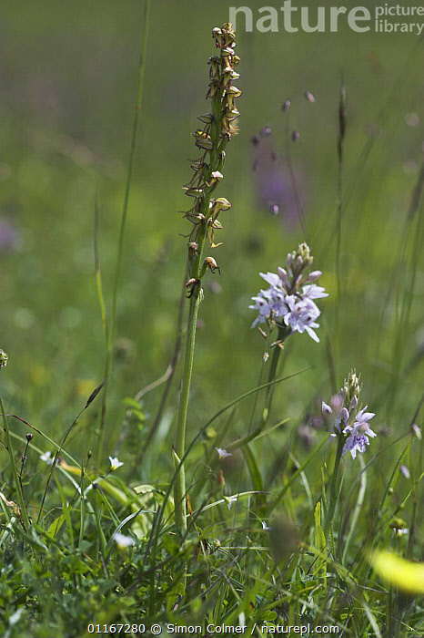 Man orchid (Orchis anthropophora) Sussex, UK  ,  EUROPE, FLOWERS, MEADOWLAND, MONOCOTYLEDONS, ORCHIDACEAE, orchids, PLANTS, UK, VERTICAL,Grassland,United Kingdom  ,  Simon Colmer