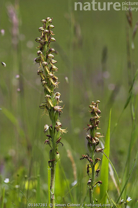 Man orchid (Orchis anthropophora) Sussex, UK  ,  EUROPE, FLOWERS, GREEN, MEADOWLAND, MONOCOTYLEDONS, ORCHIDACEAE, orchids, PLANTS, UK, VERTICAL,Grassland,United Kingdom  ,  Simon Colmer
