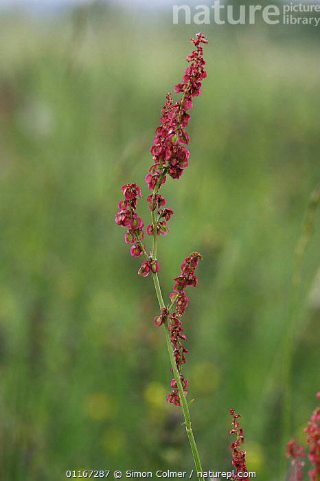Sheep's Sorrel (Rumex acetosella) Sussex Downs AONB, Sussex UK  ,  DICOTYLEDONS, POLYGONACEAE, RED, VERTICAL, CACTUS, EUROPE, FLOWERS, PLANTS, UK,United Kingdom,Goats,Antelopes  ,  Simon Colmer
