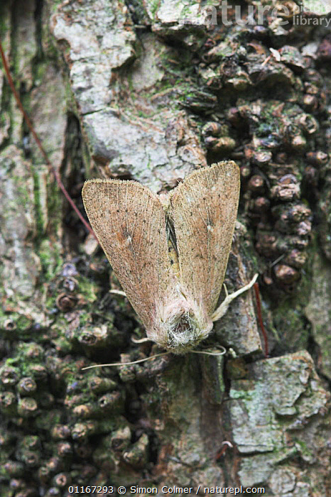 The Clay moth (Mythimna ferrago) on tree bark, Sussex UK  ,  EUROPE, INSECTS, INVERTEBRATES, LEPIDOPTERA, MOTHS, NOCTUID-MOTHS, UK, VERTICAL,United Kingdom  ,  Simon Colmer