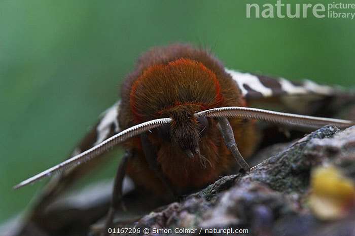 Close-up of head of Garden Tiger moth (Arctia caja) Sussex UK  ,  antennae, EUROPE, EYES, GARDENS, HEADS, INSECTS, INVERTEBRATES, PORTRAITS, close ups, HAIR, LEPIDOPTERA, MOTHS, NOCTUID-MOTHS, UK,United Kingdom  ,  Simon Colmer
