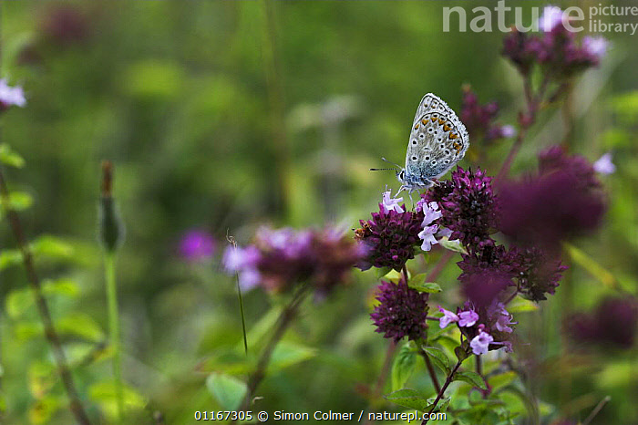 Common Blue Butterfly (Polyommatus icarus) on wild thyme (Thymus praecox) Levin Down Nature Reserve, Sussex, UK  ,  ARTHROPODS,BUTTERFLIES,EUROPE,FLOWERS,HERBS,INSECTS,INVERTEBRATES,LEPIDOPTERA,MEADOWLAND,PURPLE,UK,United Kingdom,Grassland,British, United Kingdom  ,  Simon Colmer