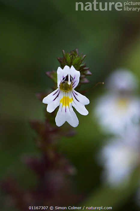Eyebright (Euphrasia officinalis) flower, Levin Down Nature Reserve, Sussex UK  ,  DICOTYLEDONS,EUROPE,FLOWERS,PLANTS,PORTRAITS,SCROPHULARIACAEA,UK,VERTICAL,United Kingdom,British, United Kingdom  ,  Simon Colmer