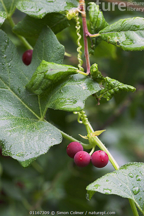 White Bryony (Bryonia dioica) with berries, Levin Down Nature Reserve, Sussex UK  ,  CLIMBERS, CUCURBITACEAE, DICOTYLEDONS, EUROPE, PINK, PLANTS, UK, VERTICAL,United Kingdom  ,  Simon Colmer