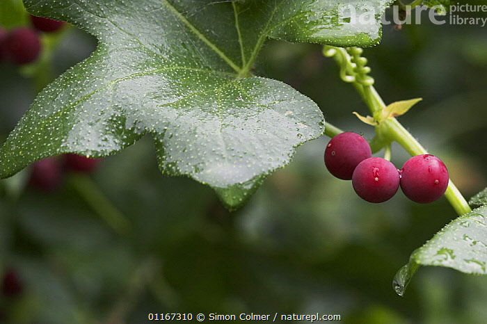 White Bryony (Bryonia dioica) with berries, Levin Down Nature Reserve, Sussex, UK  ,  CLIMBERS, CUCURBITACEAE, DICOTYLEDONS, EUROPE, FRUIT, PINK, PLANTS, UK,United Kingdom  ,  Simon Colmer