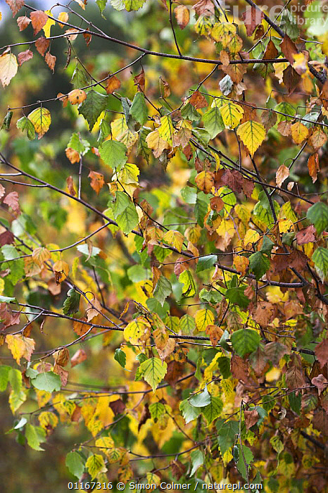 Silver birch (Betula pendula) tree leaves in late summer, Steadham Common, Sussex, UK  ,  AUTUMN,BETULACEAE,COLOURFUL,DICOTYLEDONS,EUROPE,PLANTS,TREES,UK,VERTICAL,United Kingdom,British, United Kingdom  ,  Simon Colmer