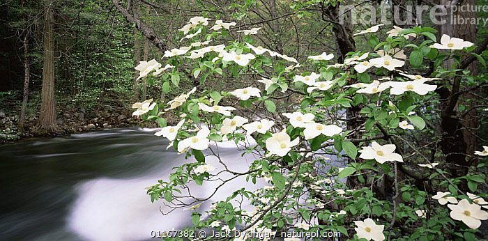 Pacific Dogwood (Cornus nuttallii) flowering on the banks of the Merced River, Yosemite valley, Yosemite National Park, California  ,  blur,California,DICOTYLEDONS,FLOWERS,LANDSCAPES,MOVEMENT,north america,NP,NYSSACEAE,PLANTS,RIVERS,USA,WATER,WOODLANDS,National Park , blurred  ,  Jack Dykinga