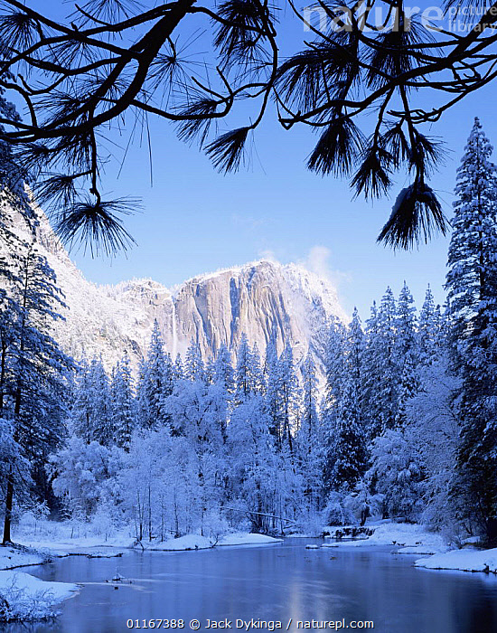 View of Yosemite Falls amid fog with snow covered Ponderosa Pines (Pinus ponderosa) and the Merced River in foreground. Framed by Ponderosa Pine boughs, Yosemite National Park, California  ,  California,CLOUDS,COLD,Fog,LANDSCAPES,MOUNTAINS,NORTH AMERICA,NP,RIVERS,rock formations,SNOW,TREES,USA,VERTICAL,WATER,WATERFALLS,WINTER,Weather,Geology,Plants,National Park  ,  Jack Dykinga