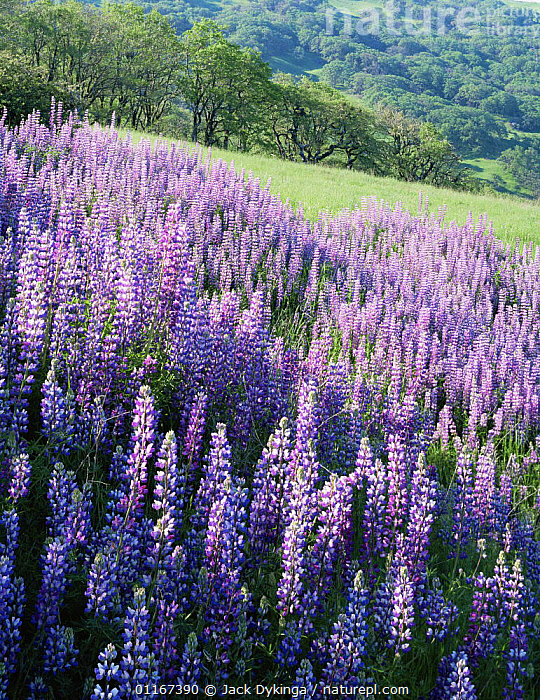 Large group of flowering Lupines (Lupinus latifolious) on hillside with Oregon White Oaks (Quercus garryana) in background, Redwood National Park, Bald Hills, California.  ,  California,DICOTYLEDONS,FABACEAE,FLOWERS,GROUPS,LANDSCAPES,LEGUME,north america,NP,PLANTS,PURPLE,SUMMER,USA,VERTICAL,National Park  ,  Jack Dykinga