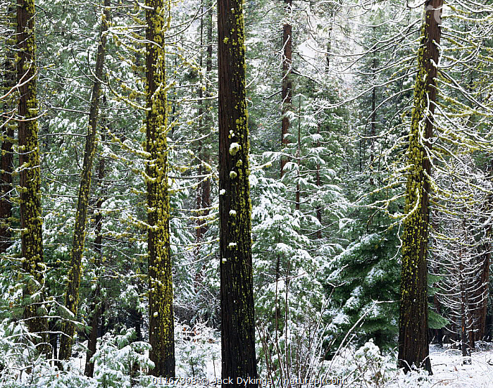 Snow covering mossy trees in mixed coniferous forest, Yosemite National Park, California  ,  California,COLD,CONIFEROUS,FORESTS,NORTH AMERICA,NP,SNOW,TREES,TRUNKS,USA,WINTER,Plants,National Park  ,  Jack Dykinga